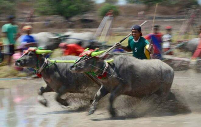 Barapan Kebo Meriahkan Festival Moyo