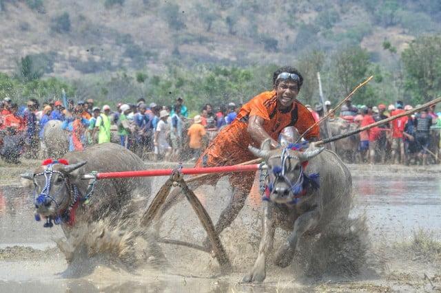 Barapan Kebo Turut Meriahkan Festival Moyo 2015