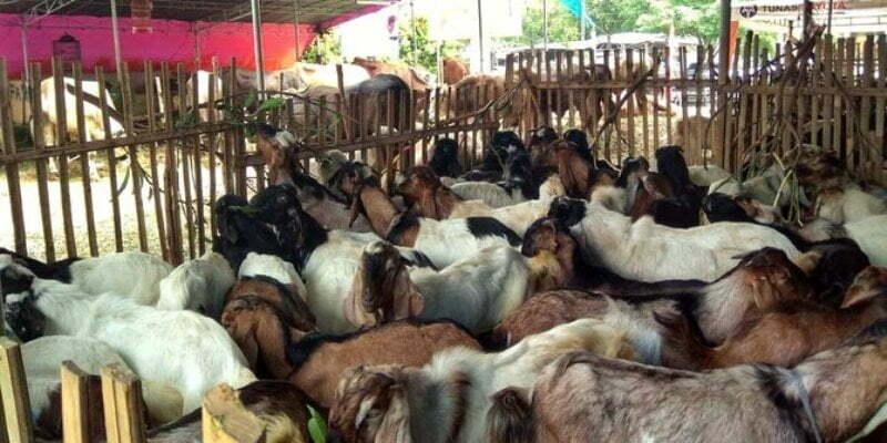 ilustrasi penjualan hewan korban