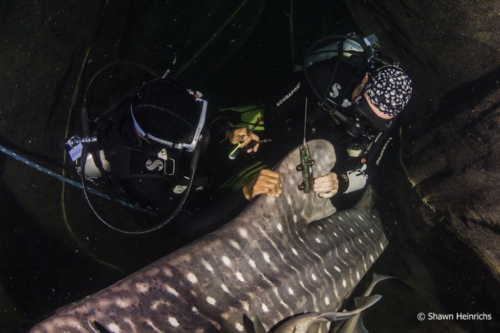 penandaan satelit hiu paus